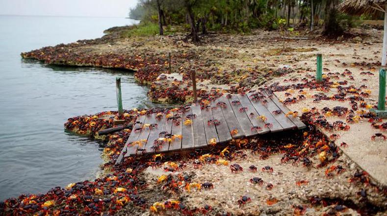 Cangrejos rojos hacia la Bahía de Cochinos
